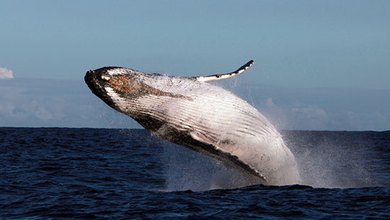 Baleine A Bosse Tout Savoir Et Plonger Avec La Baleine A Bosse