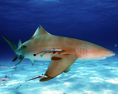 Le requin citron